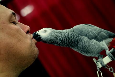 попугай целуется
