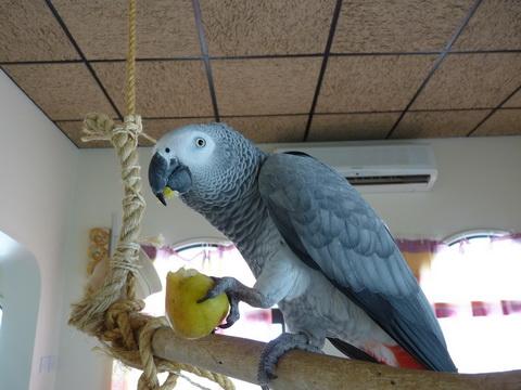 попугай с грушей