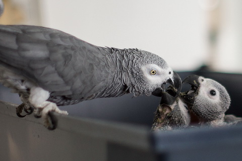 Жако кормит птенцов