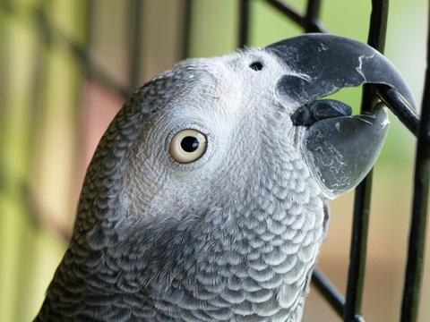 взрослый попугай жако