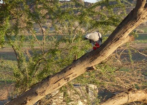 Попугай жако на дереве